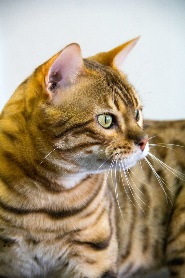 Cat photograph by Kathleen Riley Photography