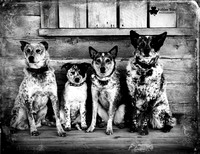 Australian Cattle Dogs in Minnesota