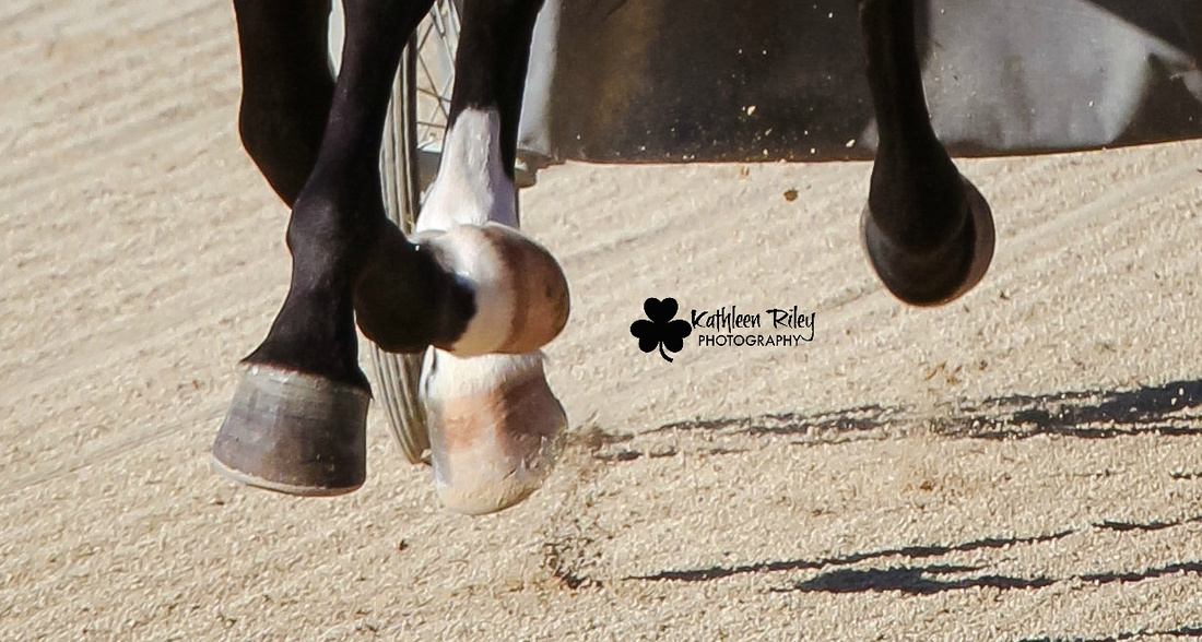 Standardbred harness horse hooves close up