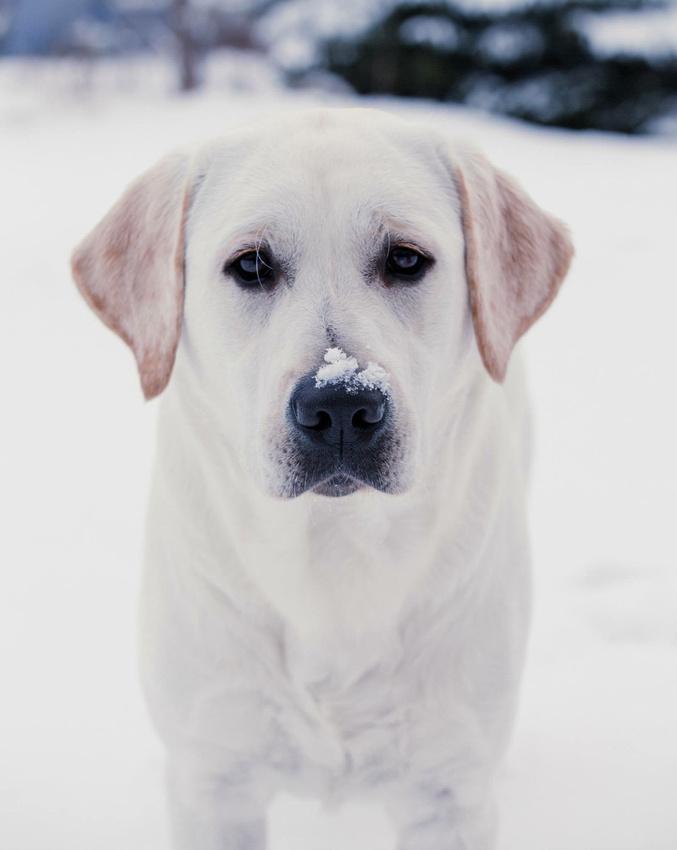 Fluffy the Vampire Labrador in a Minnesota Winter