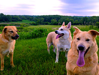 Chinook Dogs in Minnesota