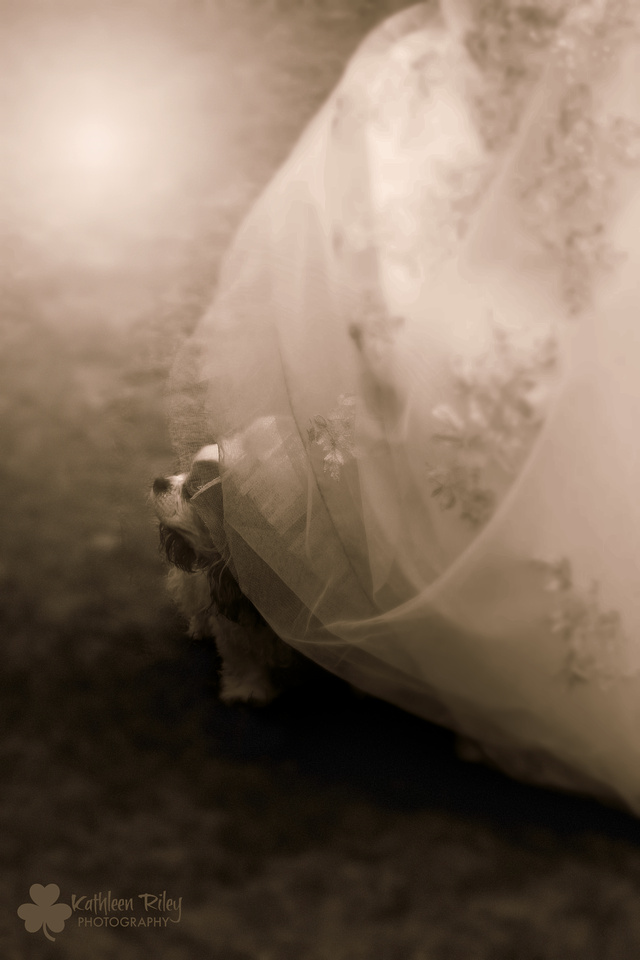 Cavalier King Charles Spaniel peeks out from under a wedding gown