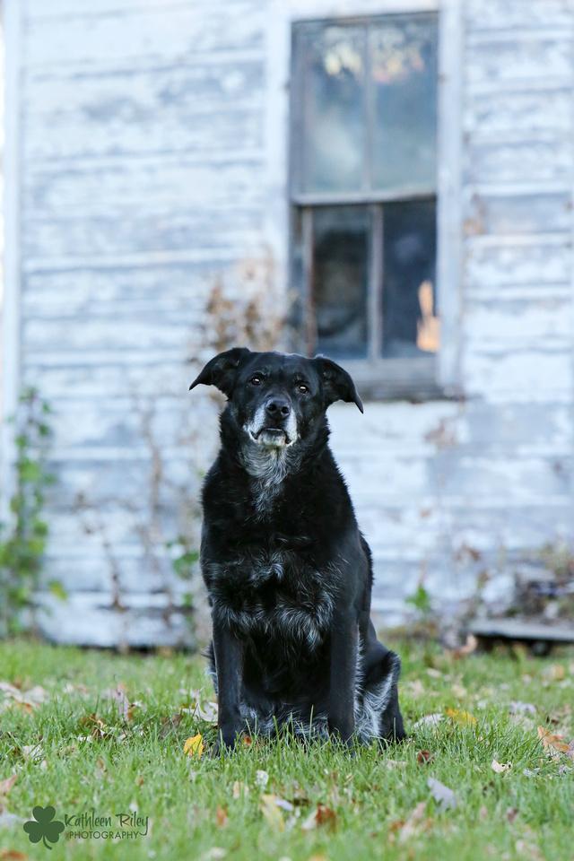 Mo the Labrador 11.0 part of the Senior Souls Project Minnesota