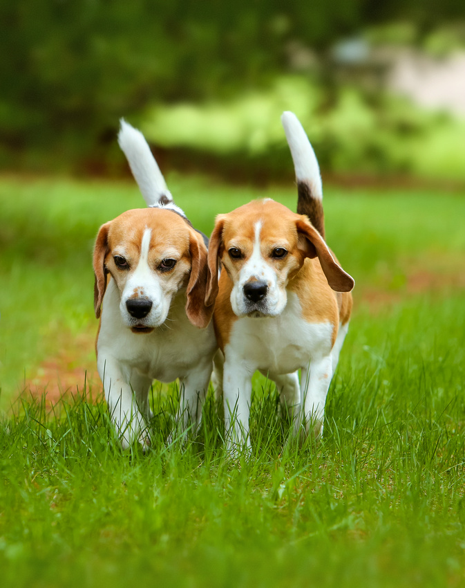 Birchwood Beagles as seen on The National Dog Show on NBC