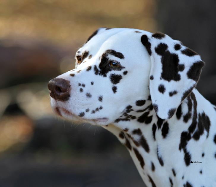 "Dalmatian 2013 Top 20 Winner GCh/UKC Ch. Paisley Choco Chip Brownie Delite, RN - ""Pauli"""