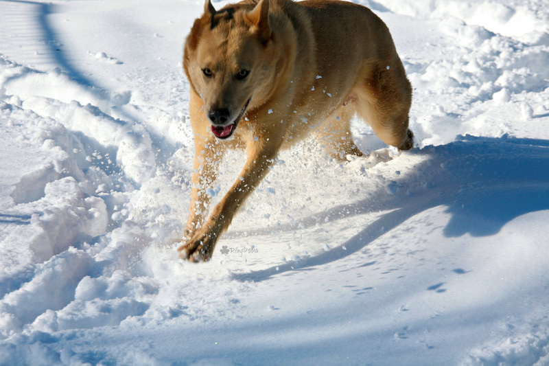 The Beej - a beautiful Chinook dog running in the Minnesota winter snow.